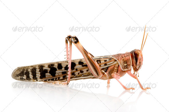Desert locust - Schistocerca gregaria - Stock Photo - Images