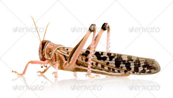 Desert locust - Schistocerca gregaria - Stock Photo - Images