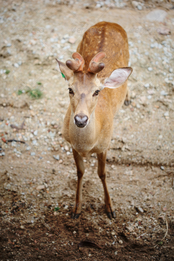 Eld's Deer - Stock Photo - Images