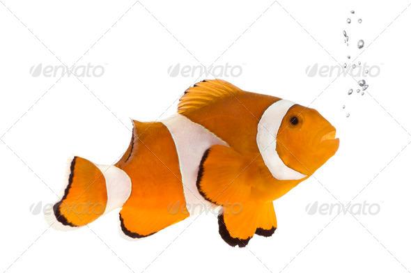 Orange clownfish - Amphiprion occelaris - Stock Photo - Images