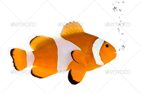 Orange clownfish - Amphiprion occelaris - Stock Photo - Images