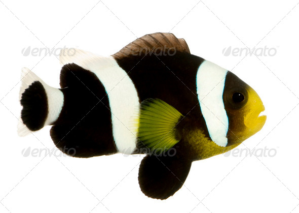 Saddleback clownfish - Amphiprion polymnus - Stock Photo - Images