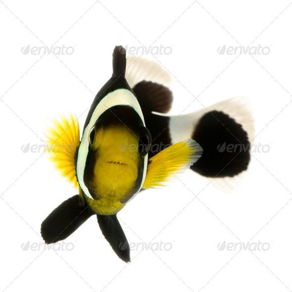 Saddleback clownfish - Amphiprion polymnus - Stock Photo - Images