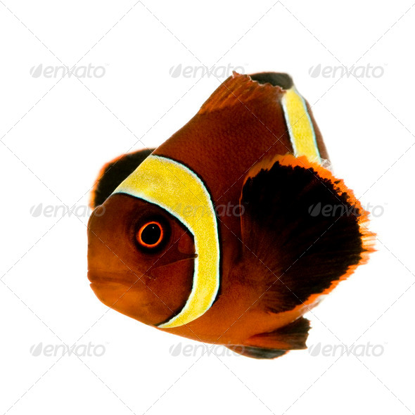 Gold stripe Maroon Clownfish - Premnas biaculeatus - Stock Photo - Images