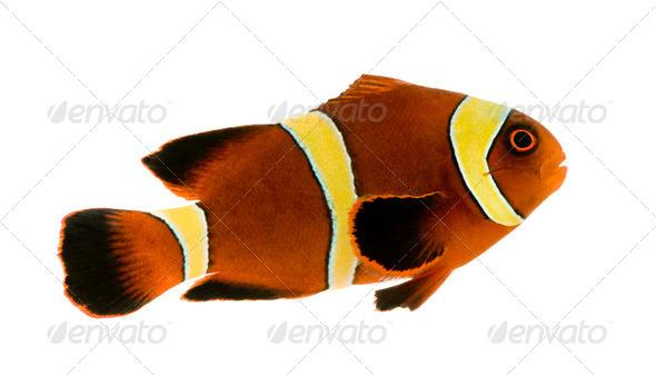 Gold stripe Maroon Clownfish - Premnas biaculeatus - Stock Photo - Images
