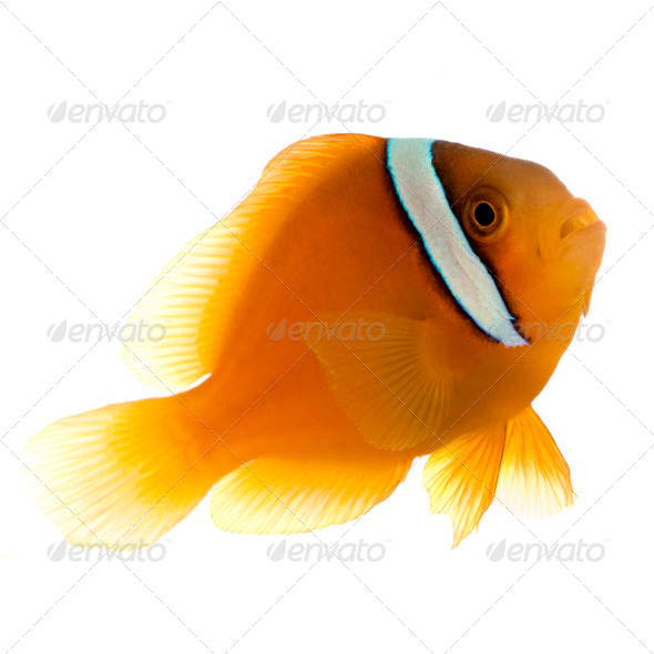 Saddle anemonefish - Amphiprion  ephippium - Stock Photo - Images