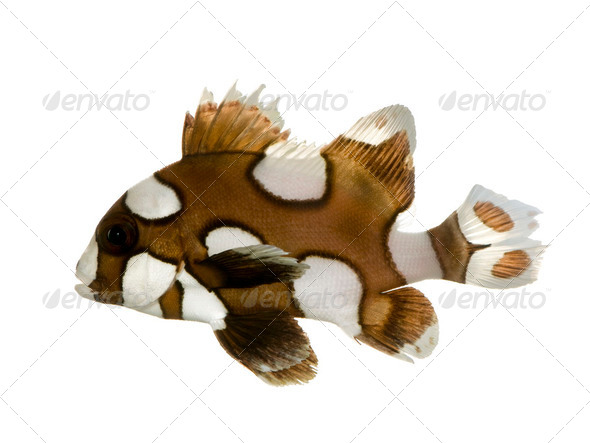 Harlequin or clown sweetlips - Plectorhynchus chaetodonoides - Stock Photo - Images