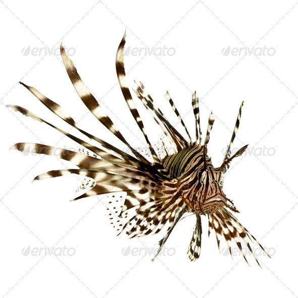 Red lionfish - Pterois volitans - Stock Photo - Images