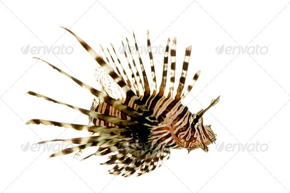 Red lionfish - Pterois volitans - Stock Photo - Images