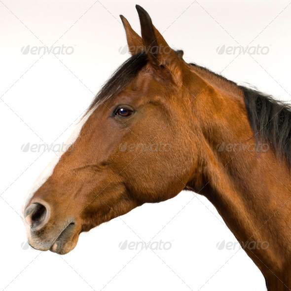 Horse (11 years) - Stock Photo - Images