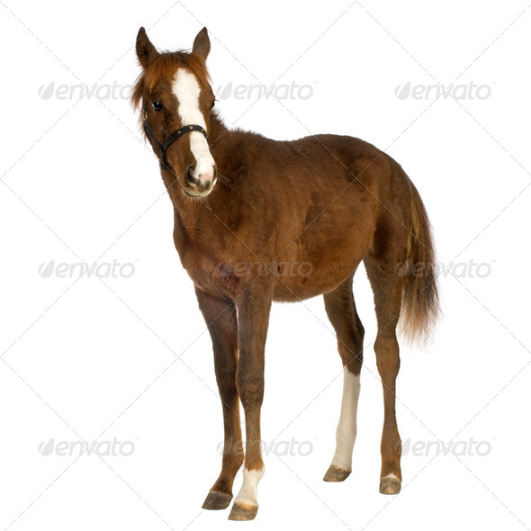 Foal (4 months) - Stock Photo - Images