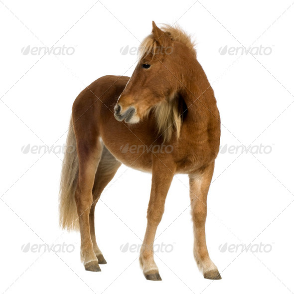 Shetland pony (2 years) - Stock Photo - Images