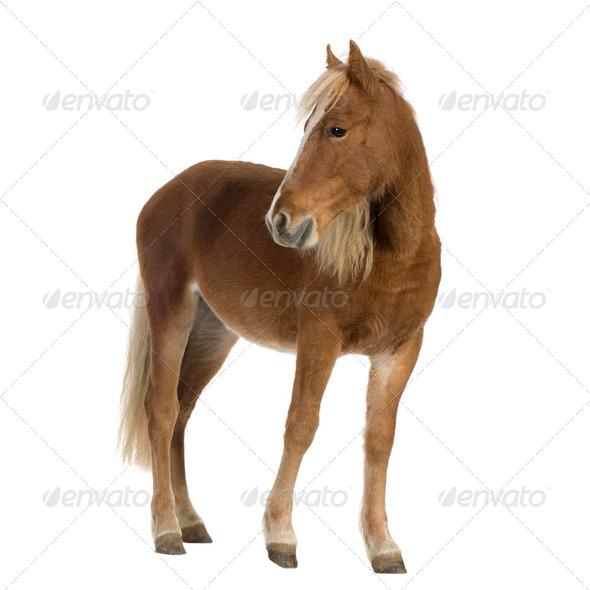 Shetland pony (2 years) - Stock Photo - Images