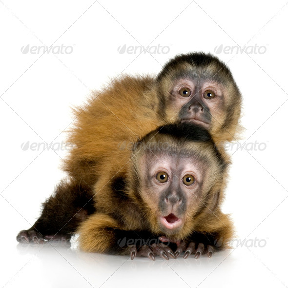 Two Baby Capuchins - sapajou apelle - Stock Photo - Images