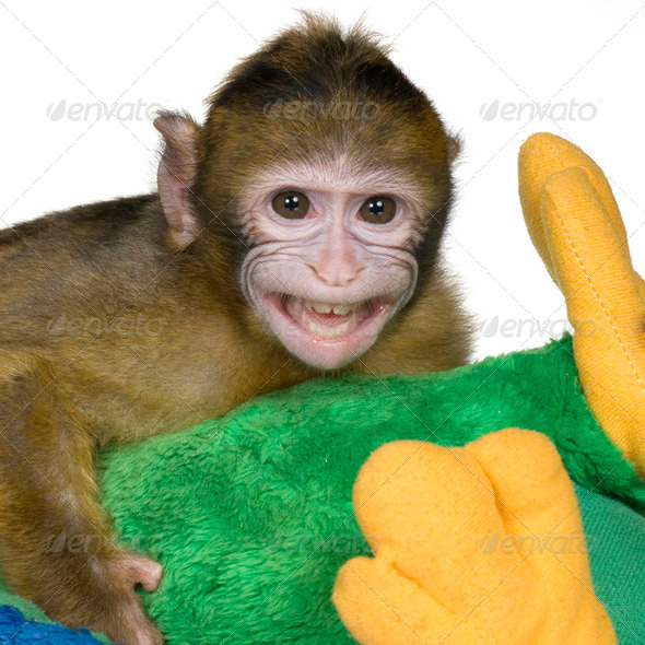 baby Barbary Macaque - Macaca sylvanus - Stock Photo - Images