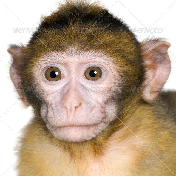 baby Barbary Macaque - Macaca sylvanus - Stock Photo - Images