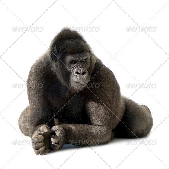 Young Silverback Gorilla - Stock Photo - Images