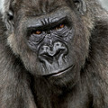 Young Silverback Gorilla - PhotoDune Item for Sale