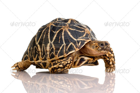 Indian Starred Tortoise - Geochelone elegans - Stock Photo - Images