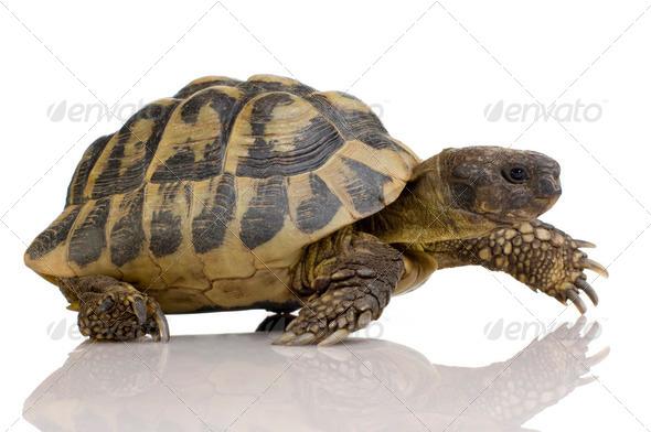 Herman's Tortoise - Testudo hermanni - Stock Photo - Images