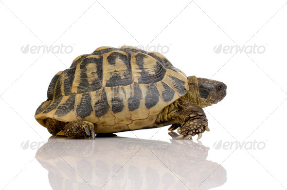 Herman's Tortoise - Testudo hermanni - Stock Photo - Images