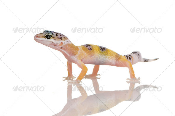 Young Leopard gecko - Eublepharis macularius - Stock Photo - Images