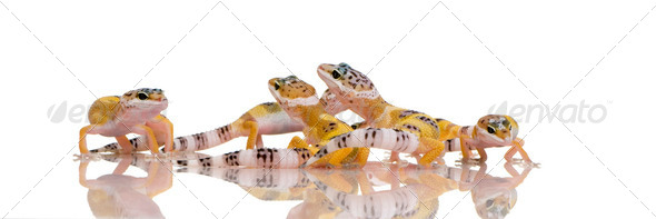 group of Young Leopard gecko - Eublepharis macularius - Stock Photo - Images