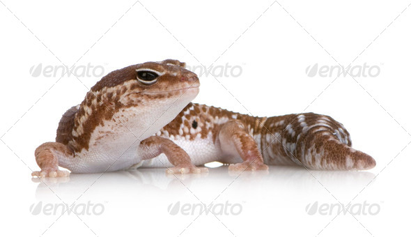 African fat-tailed gecko - Hemitheconyx caudicinctus - Stock Photo - Images