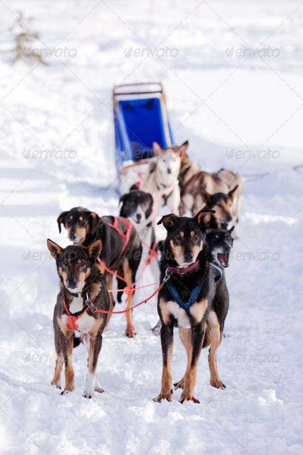 Dog Sled - Stock Photo - Images