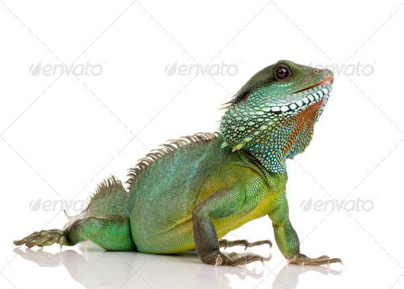 Indian Water Dragon - Physignathus cocincinus - Stock Photo - Images