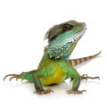 Indian Water Dragon - Physignathus cocincinus - PhotoDune Item for Sale