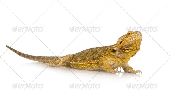 Lawson's dragon - Pogona henrylawsoni - Stock Photo - Images