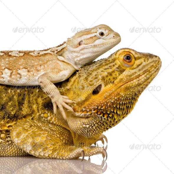 Lawson's dragon - Pogona henrylawsoni - Stock Photo - Images