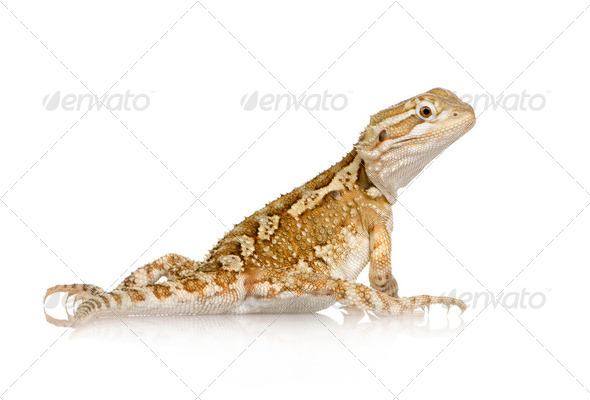 Young Lawson's dragon - Pogona henrylawsoni - Stock Photo - Images