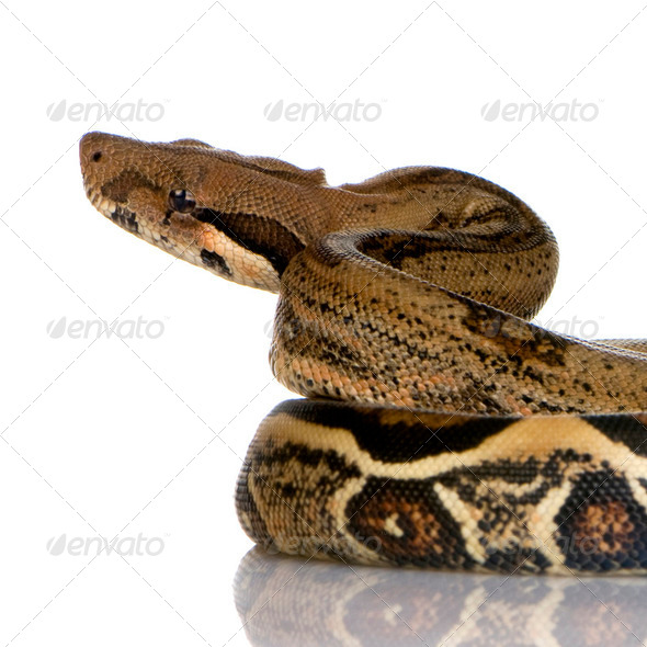 Boa constrictor - Stock Photo - Images