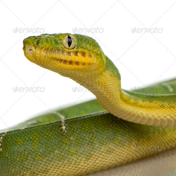 Emerald Tree Boa - Corallus caninus - Stock Photo - Images