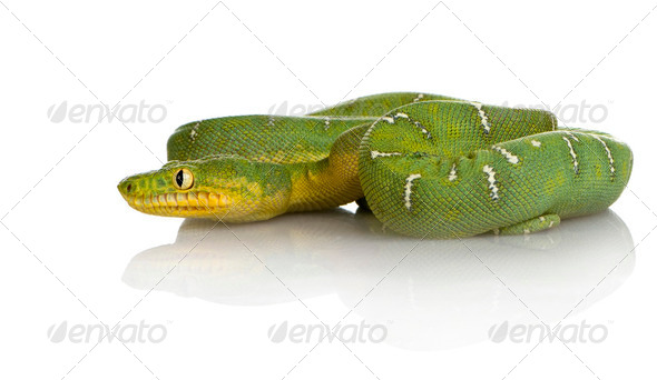 Emerald Tree Boa - Corallus caninus - Stock Photo - Images