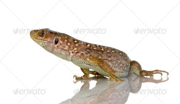 Ocellated lizard - Timon lepidus - Stock Photo - Images
