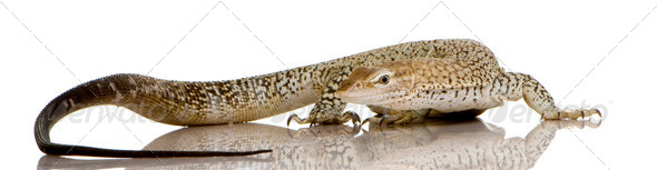 Monitor lizard - Freckled Monitor - Varanus tristis orientalis - Stock Photo - Images
