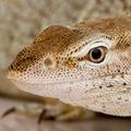 Monitor lizard - Freckled Monitor - Varanus tristis orientalis