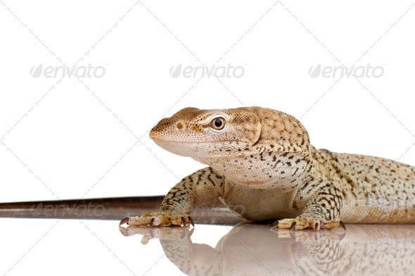 Monitor lizard - Freckled Monitor - Varanus tristis orientalis - Stock Photo - Images
