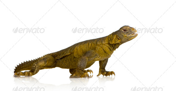 Dabb Lizard - Uromastyx aegyptia - Stock Photo - Images