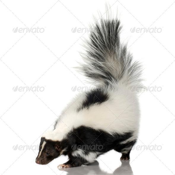 Striped Skunk - Mephitis mephitis - Stock Photo - Images