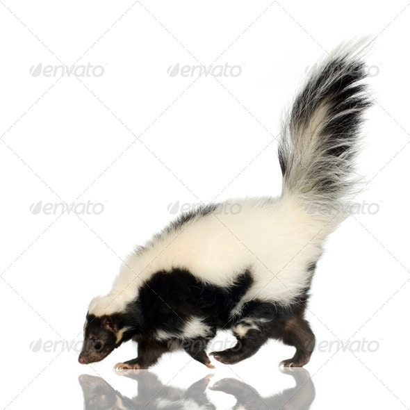 Striped Skunk - Mephitis mephitis - Stock Photo - Images