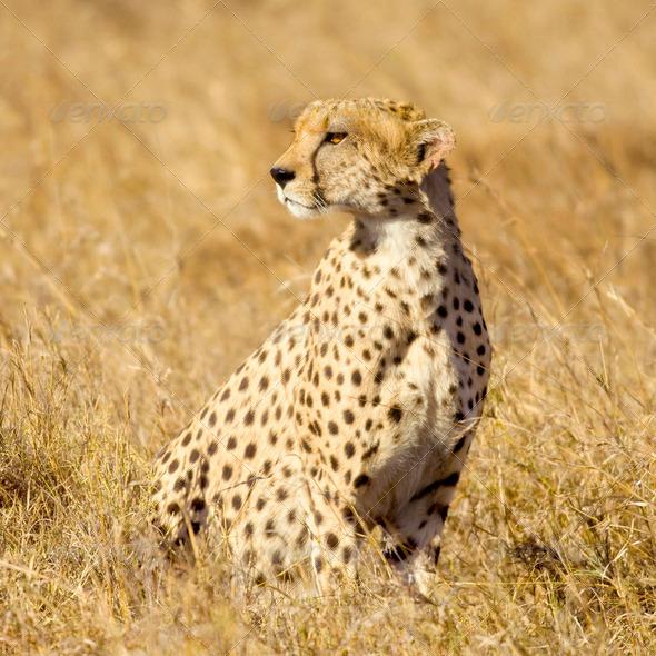 cheetah Masai mara Kenya - Stock Photo - Images