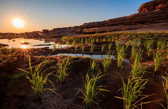 Traditional rice field at Sam Pan Bok Grand Canyon, Ubon Ratchathani, Thailand - Stock Photo - Images