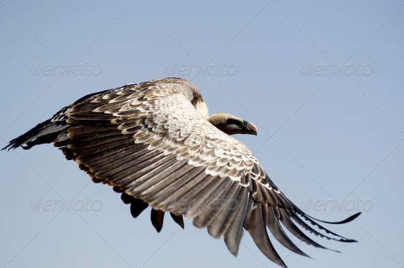 vulture at Masai mara Kenya - Stock Photo - Images