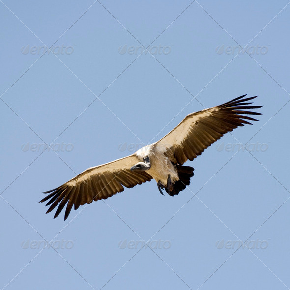 vulture at Masai mara Kenyav - Stock Photo - Images