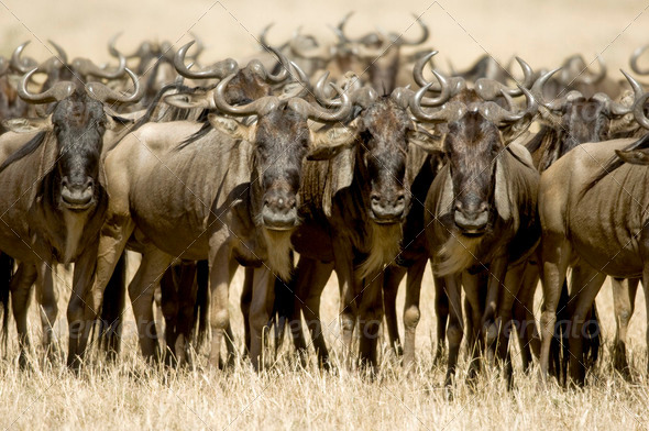 Wildebeest Masai mara Kenya - Stock Photo - Images