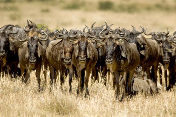 Wildebeest Masai mara Kenya - Stock Photo - Images